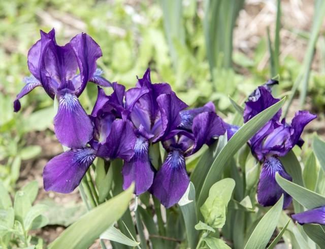 Ирис вильчатый, или рогатый (Iris furcata)