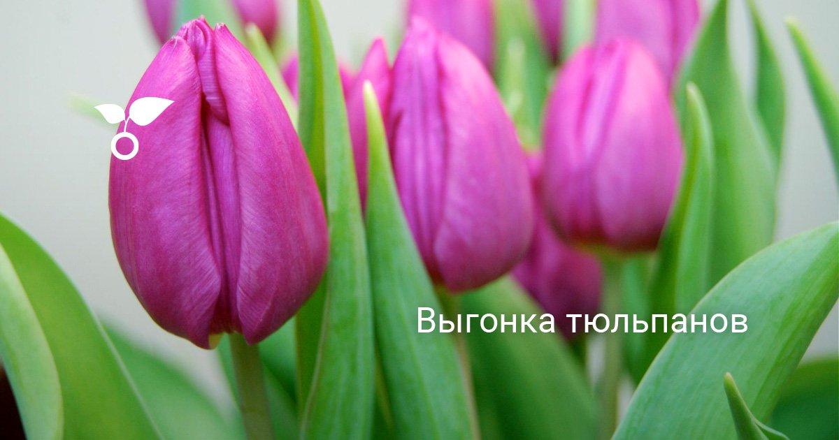 Как вырастить тюльпаны из луковиц в горшке в домашних условиях