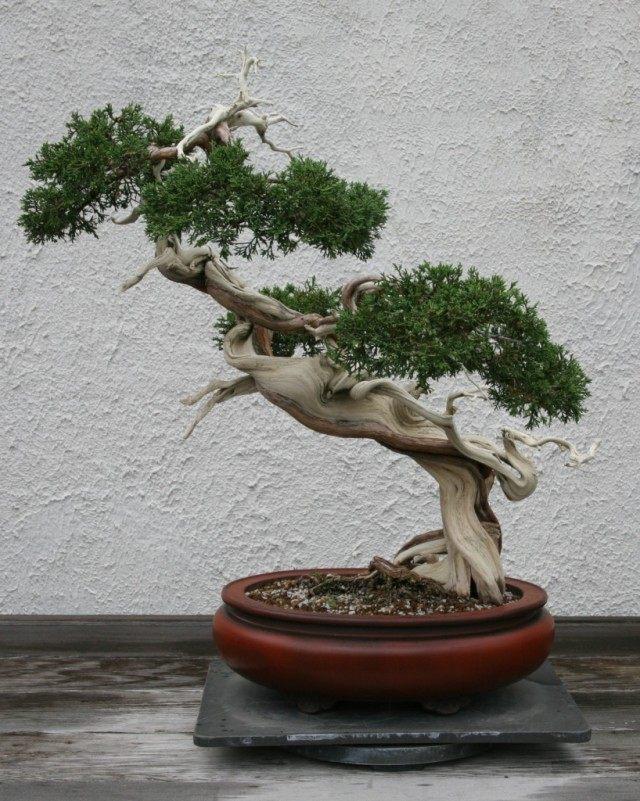 Бонсай из Можжевельника Сарджента. Выращивается с 1905 года. Стиль Хан-кэнгай (Han-Kengai)