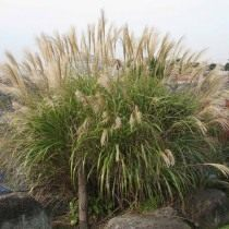Мискантус сахароцветковый (Miscanthus sacchariflorus)