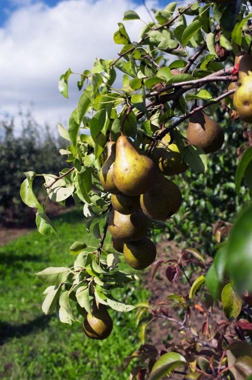 Груша (Pear)