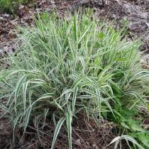 Канареечник тростниковидный, или Филярис (Phalaris arundinacea)