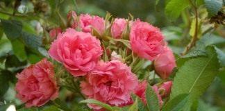 Роза Пинк Гроотендорст (Pink Grootendors)