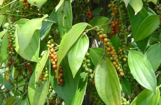 Плоды перца чёрного