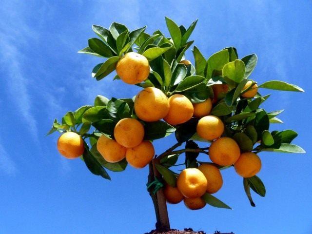 Каламондин, или цитрофортунелла (Calamondin) — быстрорастущее и хорошо ветвящееся вечнозеленое деревце — гибрид мандарина с кумкватом (фортунеллой)