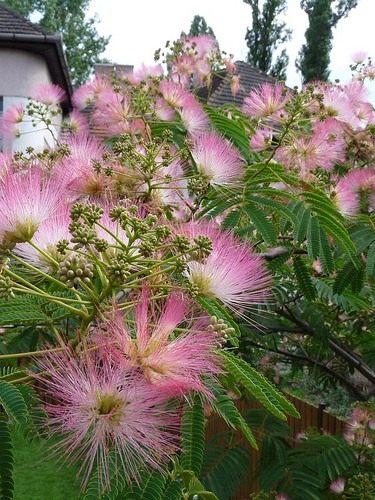 Альбиция ленкоранская (Albizia julibrissin)