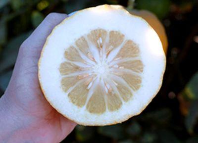 Корсиканский цитрон (Corsican citron)