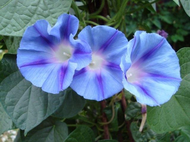 Ипомея Пурпурная (Ipomoea purpurea), сорт Light Blue Star