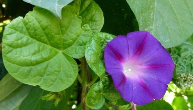 Ипомея Пурпурная (Ipomoea purpurea), сорт Звезда Ялты