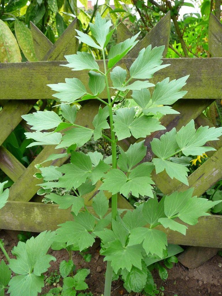 канареечного цвета, любисток фото растения труда