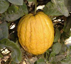 Йеменский цитрон (Yemenite citron)