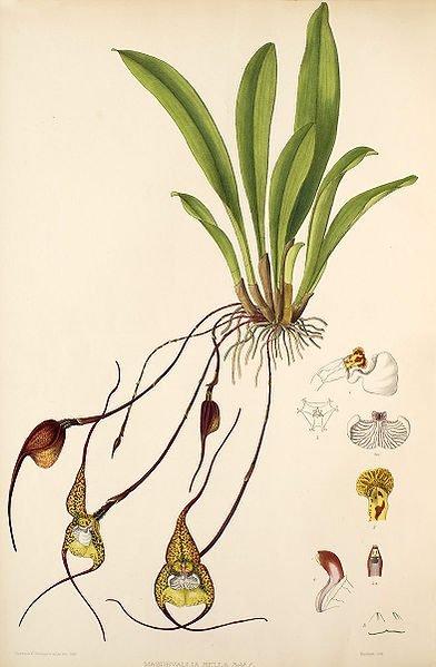 Dracula bella. Ботаническая иллюстрация из книги Florence Woolward: The Genus Masdevallia. 1896