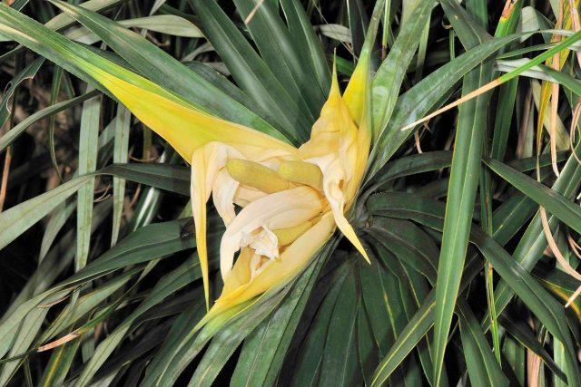Фрейсинетия (Freycinetia formosana Hemsl)