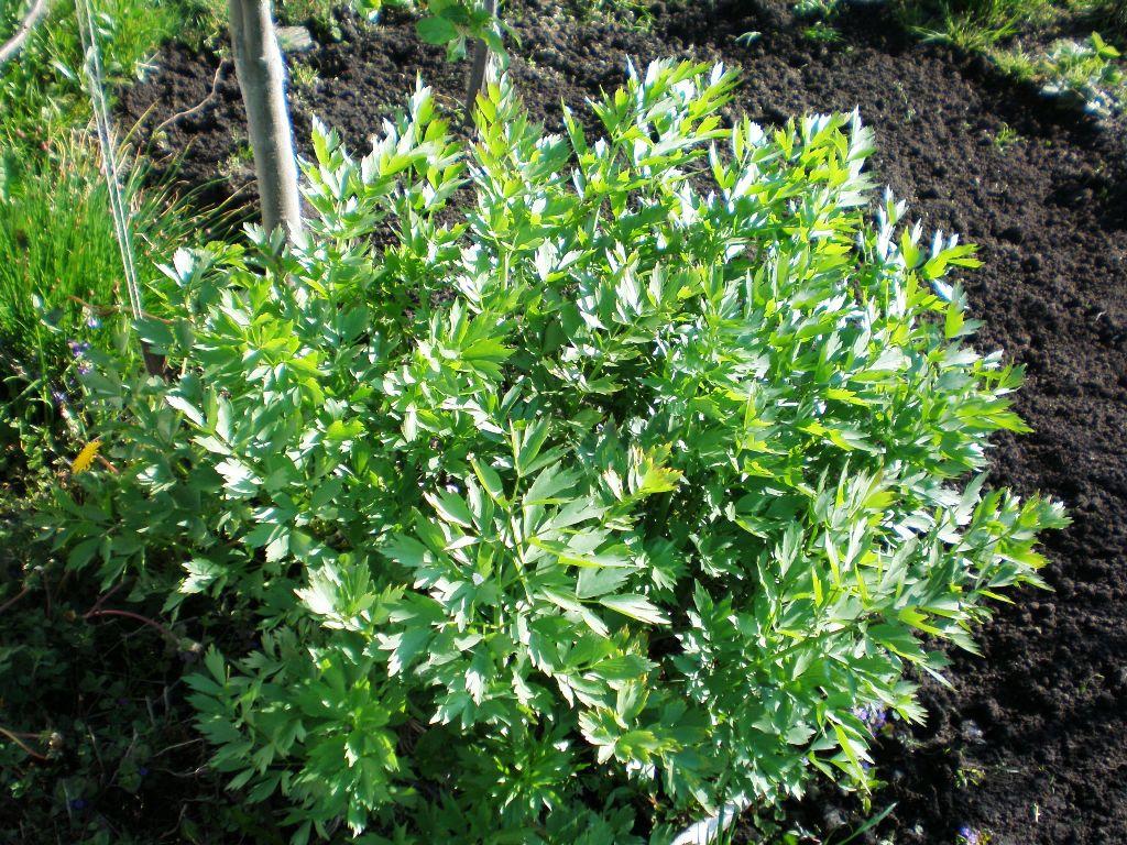 Любисток — выращивание и лечебные свойства. Фото — Ботаничка.ru