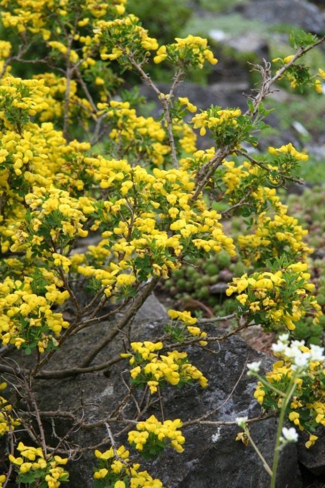 Ракитник плавающецветный, или выступающецветковый, или краецветковый (Cytisus emeriflorus)