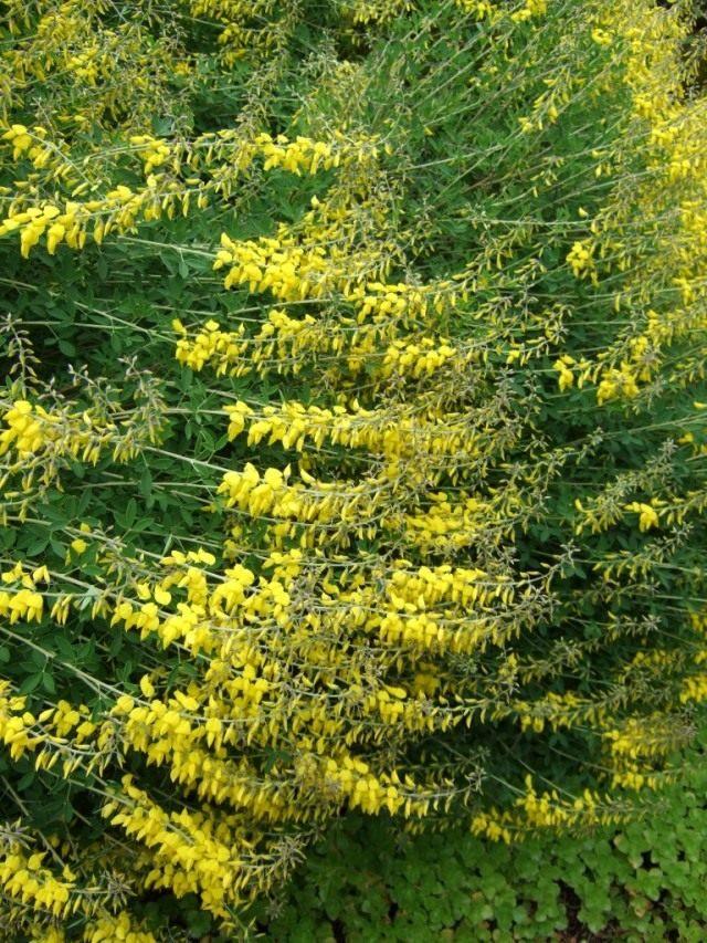 Ракитник чернеющий (Cytisus nigricans)