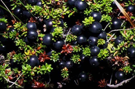 Водяника чёрная, обоеполая (Empetrum nigrum subsp. hermaphroditum)