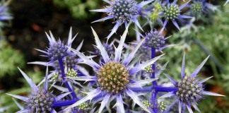 "Синеголовник Бурта (Eryngium bourgatii), сорт ""Picos Blue"""