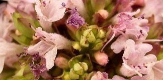 Цветы душица обыкновенная