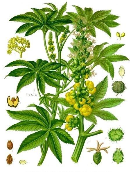 Клещевина обыкновенная (Ricinus communis). Ботаническая иллюстрация из справочника Köhler's Medizinal-Pflanzen, 1887