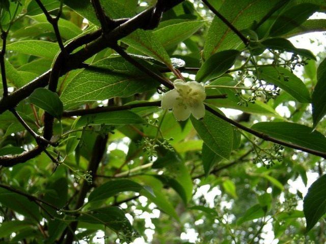 Лимонник (Schisandra)