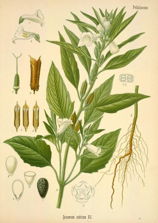 Кунжут, или сезам (Sesamum indicum) Ботаническая иллюстрация из книги«Köhler's Medizinal-Pflanzen», 1887