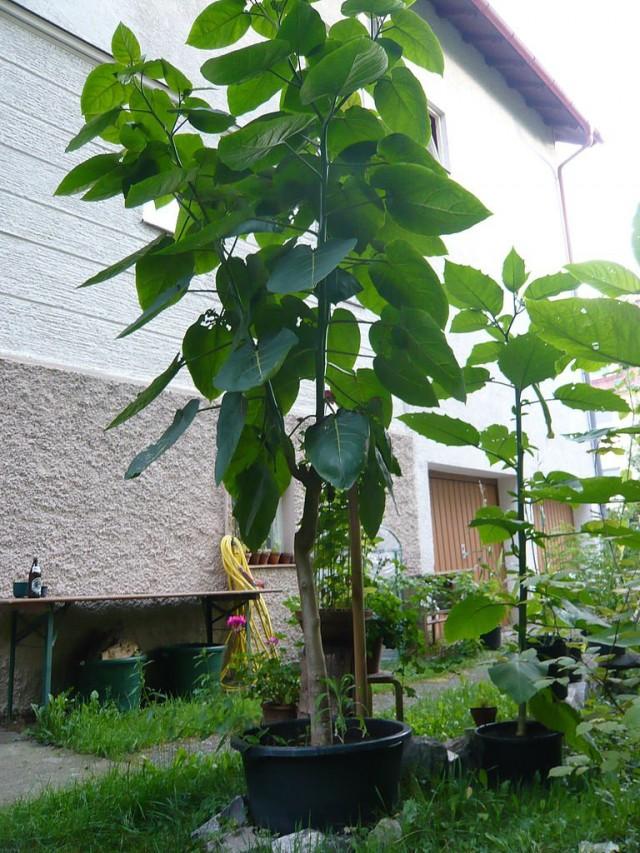 Четырёхлетнее томатное дерево (Cyphomandra betacea), выращенное из семян
