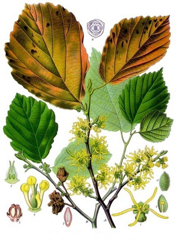 Гамамелис виргинский (Hamamelis virginiana). Ботаническая иллюстрация из книги «Köhler's Medizinal-Pflanzen», 1887