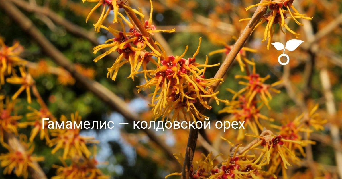 Гамамелис, ведьмин орех: описание растения, применение в медицине и косметологии, полезные свойства
