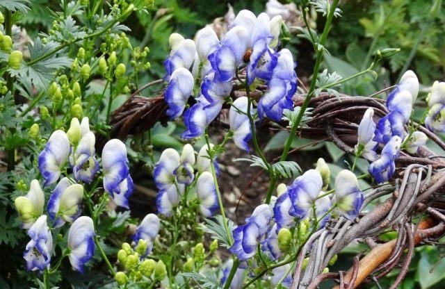 """Борец или Аконит садовый """"Двухцветный""""(Aconitum cammarum 'Bicolor')"""