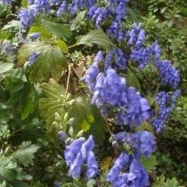 Борец или Аконит Фишера (Aconitum fischeri)