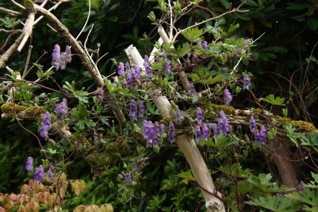 Борец вьющийся, или Аконит вьющийся (Aconitum volubile)