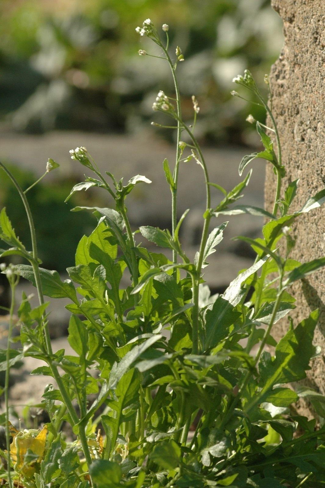 Фото травы пастушья сумка