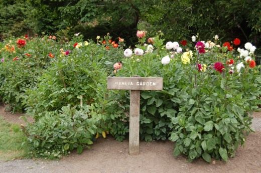 Сад георгин