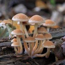 Ложноопёнок кирпично-красный (Hypholoma lateritium)