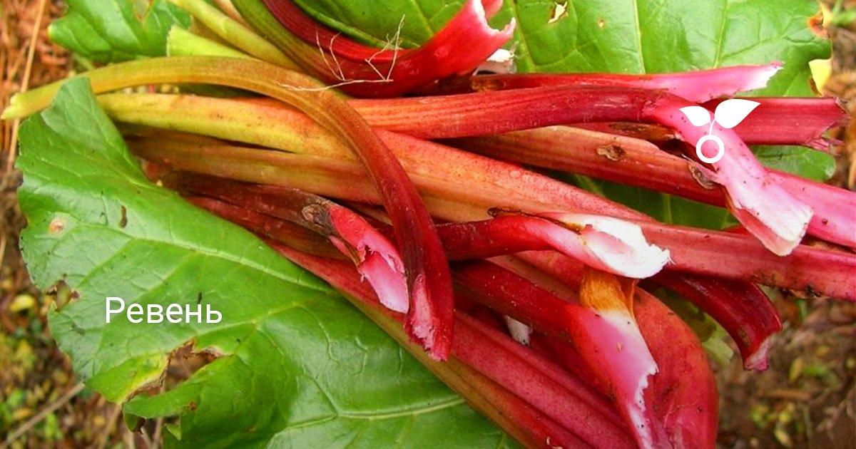 Выращивание ревеня - посадка и уход, виды и сорта