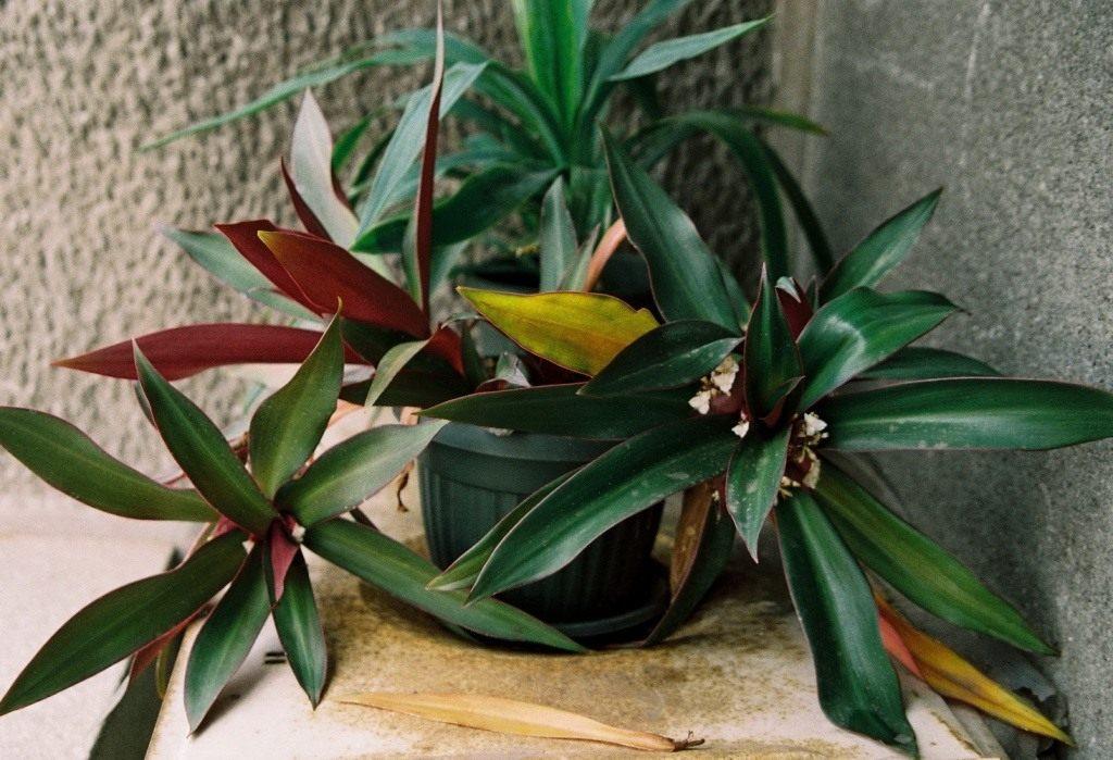Комнатный цветок Рео: фото, уход в домашних условиях, размножение