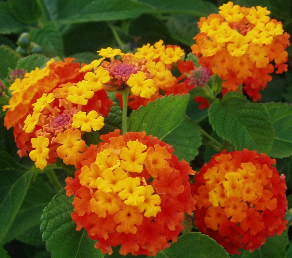 Купить цветок лантана в спб