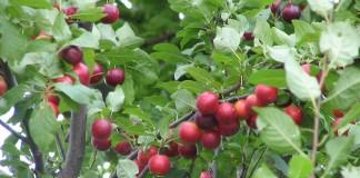 Плоды Алычи, или сливы растопыренной
