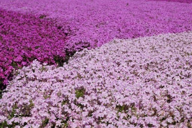 Флокс шиловидный во время цветения