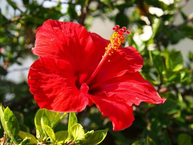 Китайская роза (гибискус)