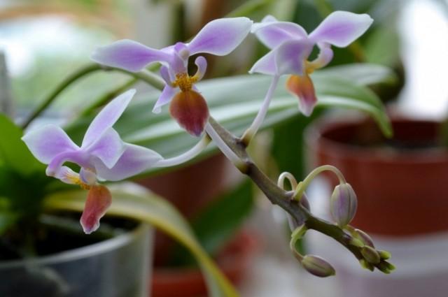 Фаленопсис конский (Phalaenopsis equestris)