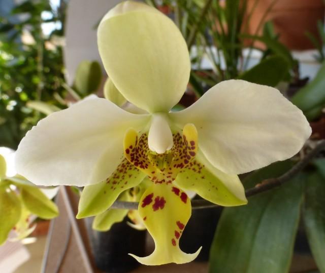 Фаленопсис стюарта (Phalaenopsis stuartiana)