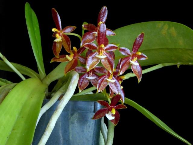 Фаленопсис оленерогий (Phalaenopsis cornu-cervi)