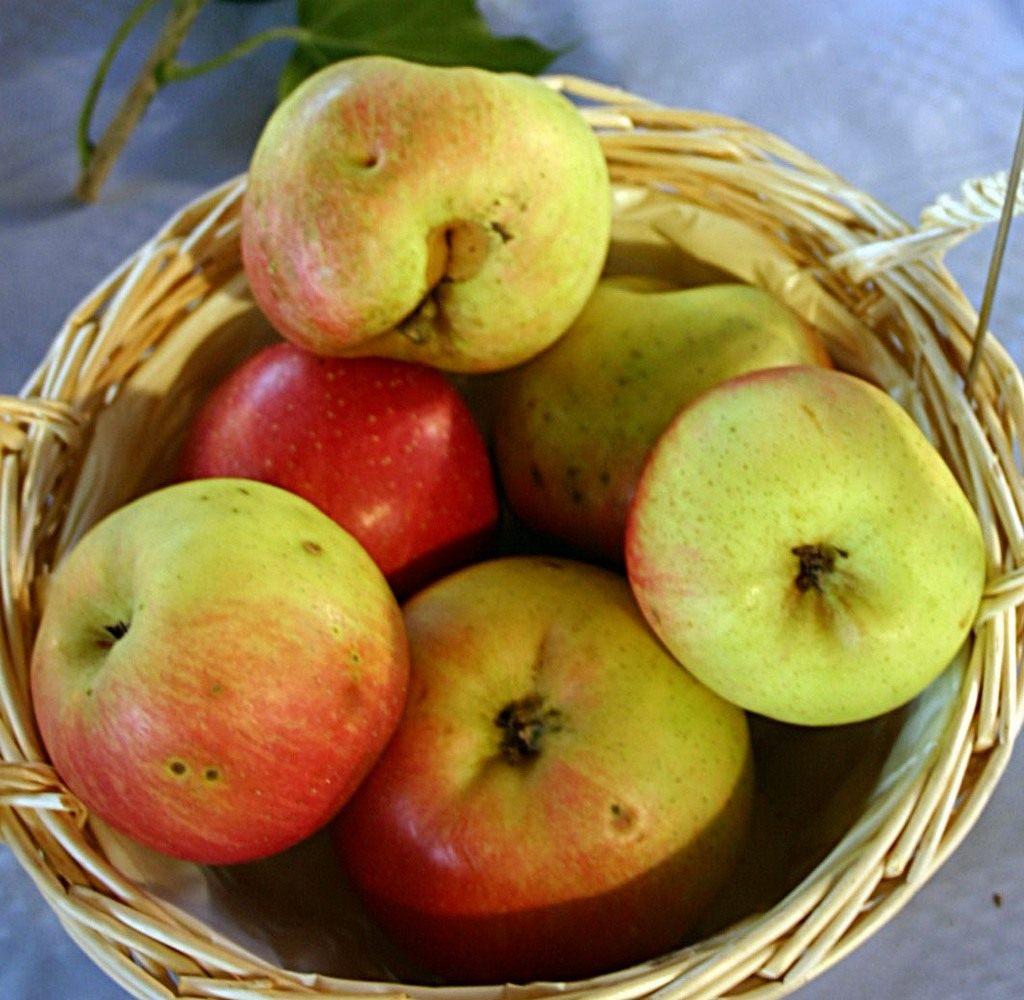 красивый двор, яблоки ранет фото узнать
