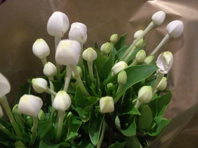 Бувардия длинноцветковая (Bouvardia longiflora)