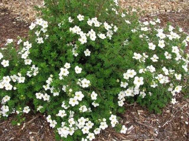 Курильский чай кустарниковый «МакКейс Вайт» (Dasiphora fruticosa 'Mckay's White')