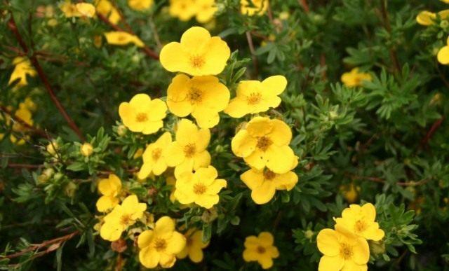 Курильский чай кустарниковый (Dasiphora fruticosa), или Лапчатка кустарниковая, или Пятилистник кустарниковый