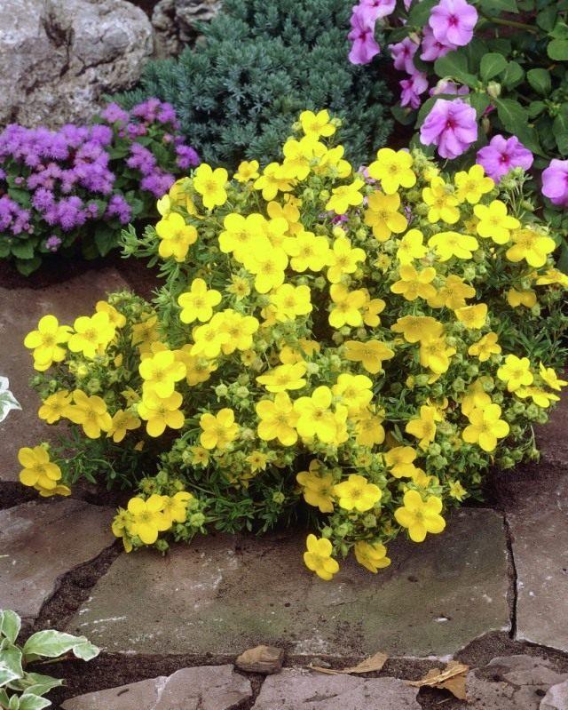 Пятилистник кустарниковый (Pentaphylloides fruticosa), курильский чай кустарниковый, или лапчатка кустарниковая