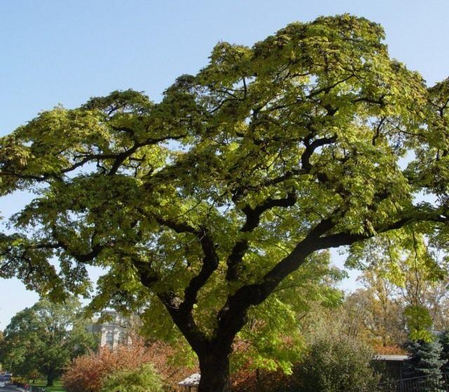 Бархат амурский, или Феллодендрон амурский, или Амурское пробковое дерево (Phellodendron amurense)